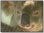 Yindi the Last Koala by Goldhil Home Media International