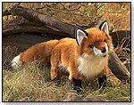 Red Fox by FOLKMANIS INC.