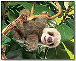 Baby Sloth Puppet by FOLKMANIS INC.